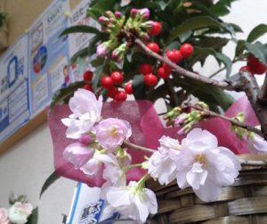 会社の桜も咲き始めましたっ♪